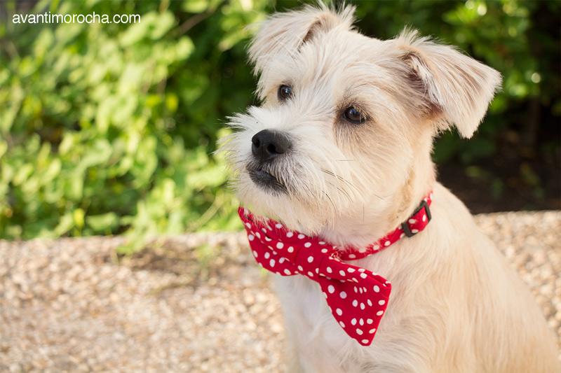 DIY Pet Bow Tie